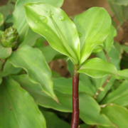 A medicinal plant with Anti-diabetes property
